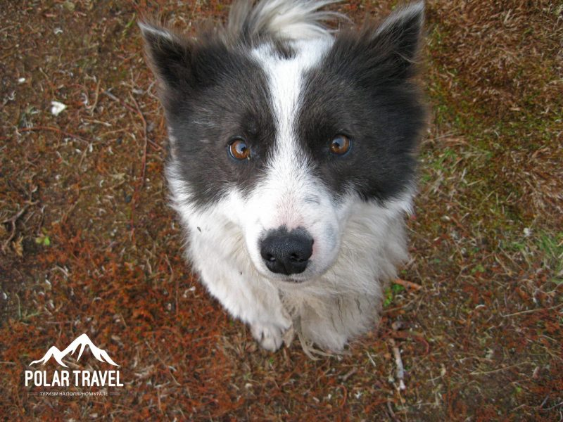 Оленегонная лайка, Polar Travel, Коми